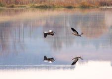 清早在湖的镇静水射击了飞行的水禽,反映 免版税图库摄影