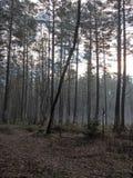 清早在11月底 杉木森林在明斯克州的Uzdensky区 图库摄影