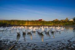 清早游泳在河的鹅群的 免版税库存照片