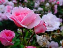 清早玫瑰灌木在雨以后 图库摄影