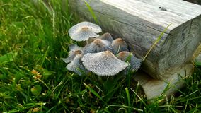 清早蘑菇 免版税库存图片