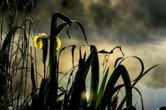 清早金黄光从美丽的黄色虹膜野花的  夏天池塘,黎明,太阳第一光芒  季节 库存照片