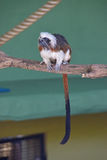 清楚的充分的身体观点的棉花上面绢毛猴在有它长的美丽的蓬松尾巴的一个动物园里 库存照片