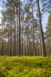清楚的杉木森林 免版税库存照片