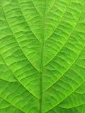 清楚的绿色叶子结构树 图库摄影