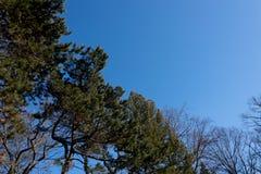 清楚的蓝色冬天天空看法与树的在角落冠上,  免版税库存照片