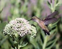 清楚的蜂鸟盯梢了 免版税库存图片