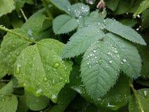 清楚的雨珠形成在一片轻轻地摇摆的叶子的精美样式 免版税库存图片