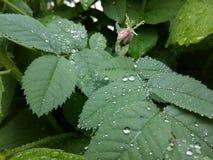 清楚的雨珠形成在一片轻轻地摇摆的叶子的精美样式 免版税库存照片