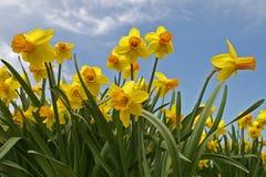 清楚的黄色黄水仙春天在荷兰 免版税库存照片