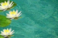 清楚的lillies筑成池塘水 免版税库存照片
