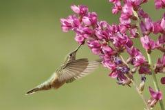 清楚被盯梢的蜂鸟女性(Selasphorus platycercus) 库存照片