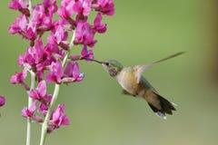 清楚被盯梢的蜂鸟女性(Selasphorus platycercus) 免版税图库摄影
