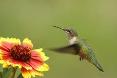 清楚被盯梢的蜂鸟女性(Selasphorus platycercus) 免版税库存图片