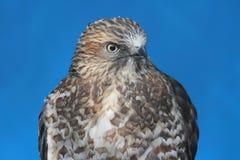 清楚飞过的鹰 免版税图库摄影