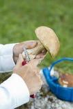 清洁牛肝菌蕈类可食可食用的蘑菇 库存照片