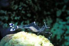 清洁虾 免版税库存图片