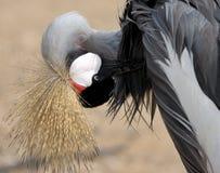 清洁起重机被加冠的羽毛 免版税库存图片