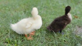 清洗他们的在绿草的两只鸭子特写镜头羽毛在公园 股票录像