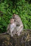 清洗他们的毛皮的两只macague猴子 免版税库存照片