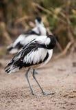 清洗和scraoeing的染色长嘴上弯的长脚鸟 库存照片