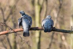 清洗在分支的两只斑尾林鸽羽毛与被弄脏的树在背景中 库存照片