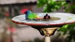 清洗蓝色面对的Parrotfinch鸟 库存图片