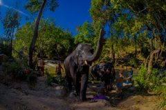 清莱,泰国- 2018年2月01日:一个小组接近的游人在大象密林圣所的巨大的大象 库存图片