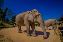 清莱,泰国- 2018年2月01日:两头美丽的巨大的大象正面图在一个密林圣所的在清迈 免版税库存照片