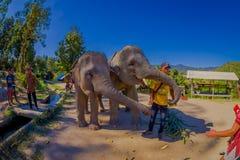 清莱,泰国- 2018年2月01日:关闭吃在密林圣所的拖曳巨大的大象小的香蕉  免版税库存照片