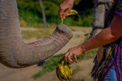 清莱,泰国- 2018年2月01日:喂养与一束小的香蕉一种巨大的厚皮类动物的未认出的人 免版税库存图片