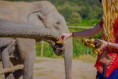清莱,泰国- 2018年2月01日:喂养与一束小的香蕉一种巨大的厚皮类动物的未认出的妇女 库存图片