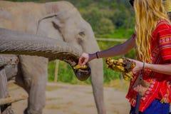 清莱,泰国- 2018年2月01日:喂养与一束小的香蕉一种巨大的厚皮类动物的未认出的妇女 免版税图库摄影