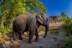 清莱,泰国- 2018年2月01日:在河岸附近的年轻大象步行在自然,在大象密林 免版税库存图片