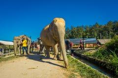 清莱,泰国- 2018年2月01日:接近一头巨大的大象的未认出的人在密林圣所在清迈 免版税库存图片
