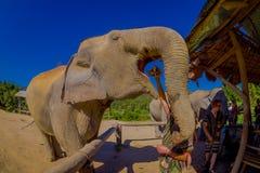 清莱,泰国- 2018年2月01日:的巨大的大象吃一束与他的开放树干的香蕉的惊人的观点 图库摄影