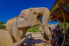 清莱,泰国- 2018年2月01日:的巨大的大象吃一束与他的开放树干的香蕉的惊人的观点 免版税库存照片