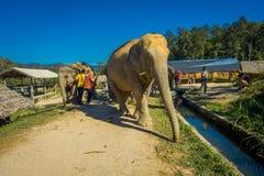 清莱,泰国- 2018年2月01日:看一头巨大的大象的室外观点的未认出的人民在密林 免版税库存照片