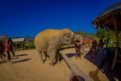 清莱,泰国- 2018年2月01日:美好的室外观点的接近一头巨大的大象的未认出的人 库存图片