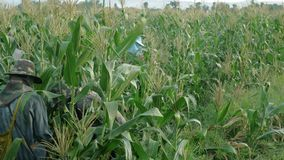 清莱,泰国- 6月07:外国劳动者缅甸缅甸或缅甸聘用收获在区域北部的甜玉米 股票视频