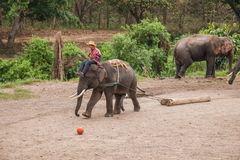清迈,泰国大象训练营大象展示 库存图片