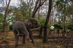 清迈,泰国大象训练营大象展示 库存照片