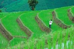 清迈,泰国- 2016年8月12日:在他的米领域的一种未认出的泰国农夫播种肥料 免版税库存照片
