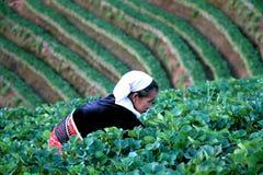 清迈,泰国- 2015年2月17日:工作在草莓领域在baan nolae,皇家农业驻地Angkhang, Ch的老妇人 库存图片