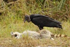 清除一头死的浣熊-佛罗里达的黑雕 免版税库存照片