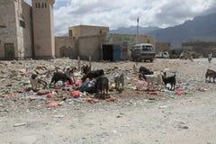 清除垃圾坑的山羊 库存照片