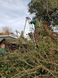 清除常春藤被骚扰的树的两个人 免版税库存照片