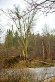清除树的林业工作者 免版税图库摄影