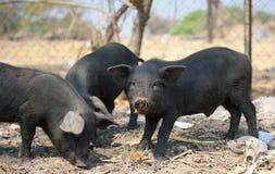 清除自由放养的黑的小猪 库存照片