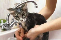 清洗在阵雨的湿缅因浣熊小猫 免版税图库摄影